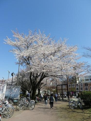 2012桜3.JPG