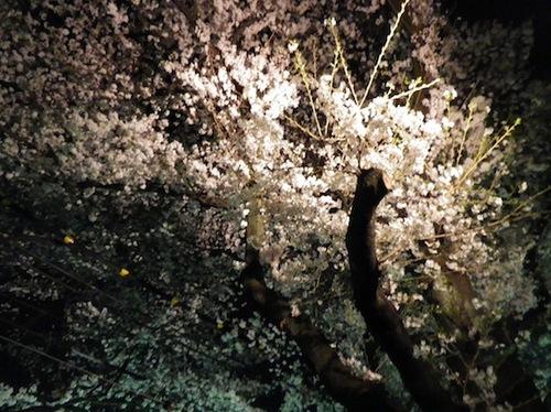 2012桜4.JPG