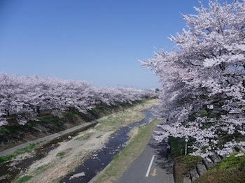 110413_桜1.JPG