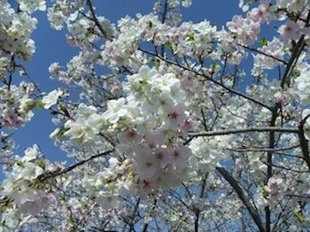 110413_桜2.JPG