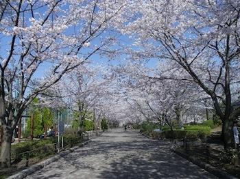 110413_桜3.JPG