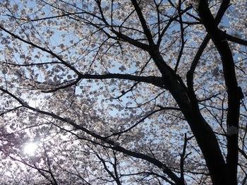 110413_桜4.JPG