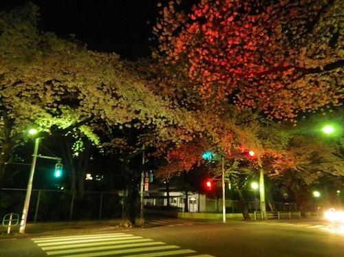 2012桜6.JPG